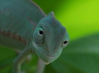 veiled chameleons for sale, buy veiled chameleons, baby veiled chameleons for sale,