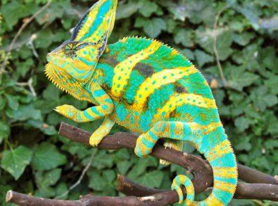 Premium (Driskel Bloodline) Baby Veiled Chameleon