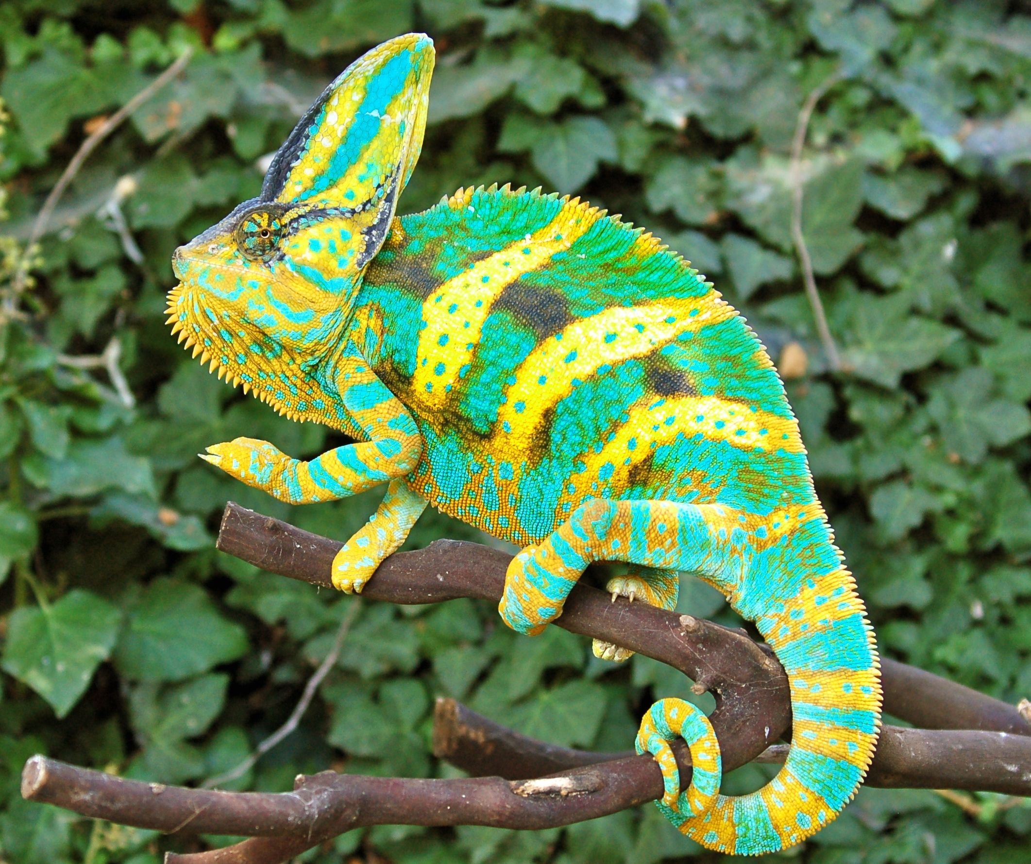 Oct 07,  · Chameleons for sale - please read the rules before posting.