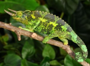 jackson's chameleon image, jackson's chameleons for sale, buy jackson's chameleons, jackson chameleon breeder