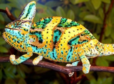 Premium (Jethro Bloodline) Baby Veiled Chameleon