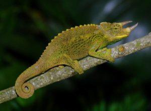 Juvenile Jackson's Chameleon (Chamaeleo (Trioceros) jacksonii xantholophus)