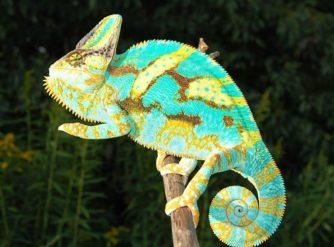 veiled chameleons for sale, buy veiled chameleons, baby veiled chameleons for sale,