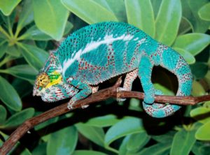 nosy faly panther chameleon for sale, buy nosy faly panther chameleons