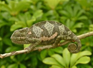 Adult Flap-Necked Chameleon For Sale (Chamaeleo dilepis)