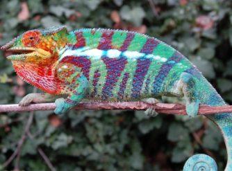 Ambanja Panther Chameleon Jones Bloodline For Sale at FL Chams