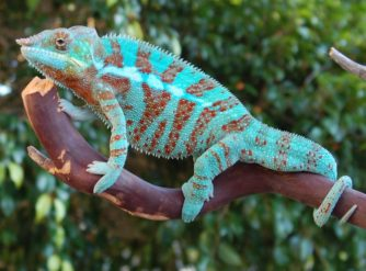 panther chameleon image, panther chameleons for sale, buy panther chameleons, panther chameleon breeder