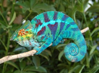 Ambanja Panther Chameleon Sturgis Bloodline