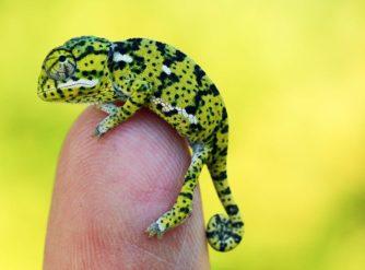 Baby Flap Neck Chameleon For Sale