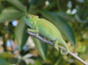 Peacock Chameleon (Chamaeleo (Trioceros) wiedersheimi)