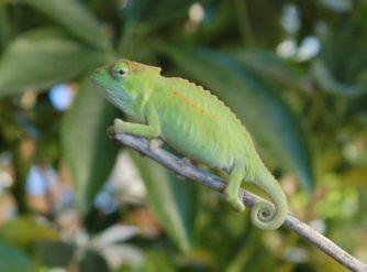 Baby Peacock Chameleon For Sale at FLChams