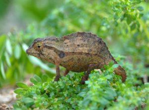 Bearded Pygmy Chameleon Adults (Rieppeleon brevicaudatus)