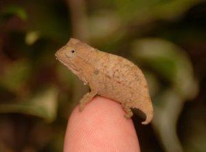 Bearded Pygmy Chameleon Captive Bred Babies (Rieppeleon brevicaudatus)