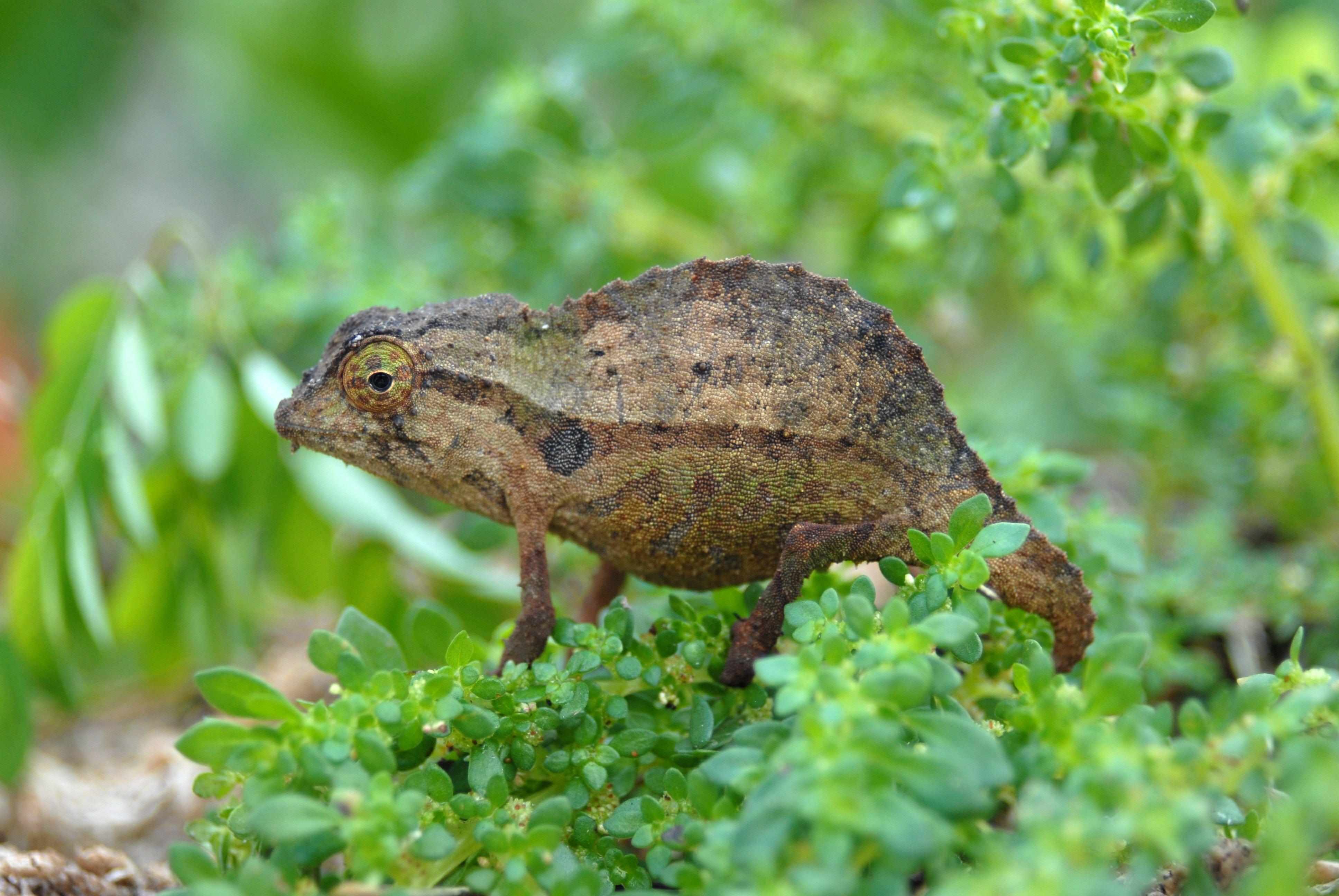 Image result for Kenya Pygmy Chameleons