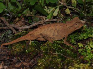 Brookesia Stumpffi Pygmy Chameleon