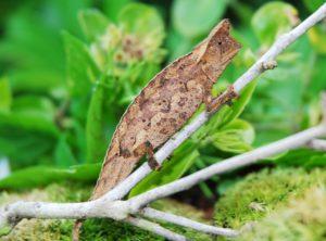 Horned Pygmy Chameleon (Brookesia superciliaris)