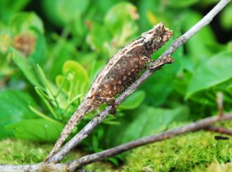 Brookesia Thieli Pygmy Chameleon for sale at FL Chams