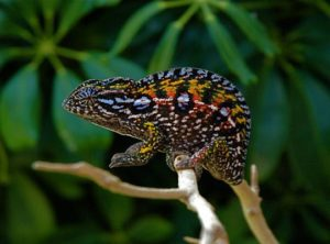 Carpet Chameleon Adults