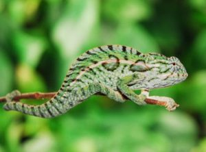Carpet Chameleon CB Babies