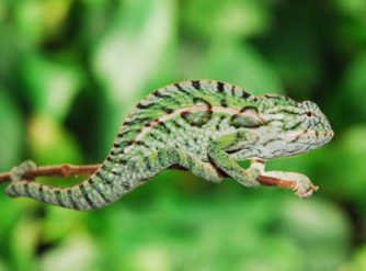 Beautiful Baby Carpet Chameleon for sale produced by FL Chams