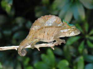 Crested Chameleon (Chamaeleo (Trioceros) cristatus)