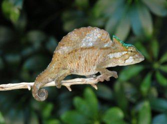 Crested Chameleon