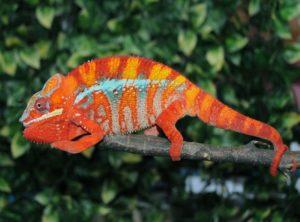 ambilobe panther chameleon image, ambilobe panther chameleons for sale, buy ambilobe panther chameleons, ambilobe panther chameleon breeders