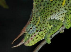 Usambara Giant Three-horned Chameleon (Chamaeleo (Trioceros) deremensis)