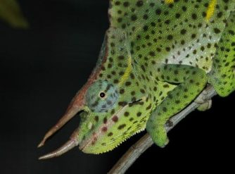 Deremensis Adult Male for sale at FLChams