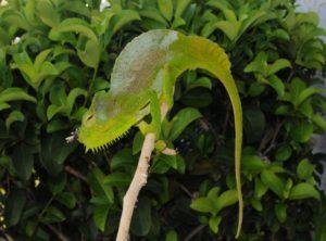Four-Horned Chameleon (Chamaeleo (Trioceros) quadricornis)