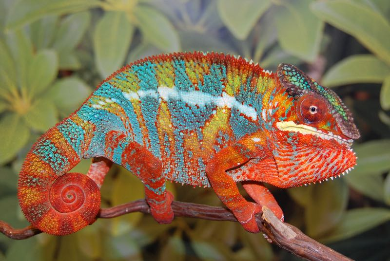 The difference between our veiled chameleons for sale and our panther chameleons is the panther chameleons can't handle as wide a temperature drop as the veiled chameleons can and require more hydration than the veiled chameleon.
