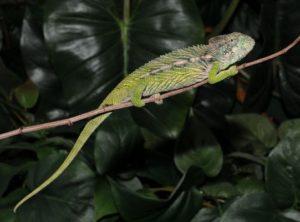 Madagascar Giant Spiny Chameleon (Furcifer verrucosus)