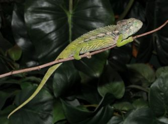 Giant Madagascar Spiny Chameleon For Sale