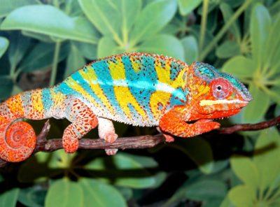 Ambilobe Panther Chameleon (Grier Bloodline)