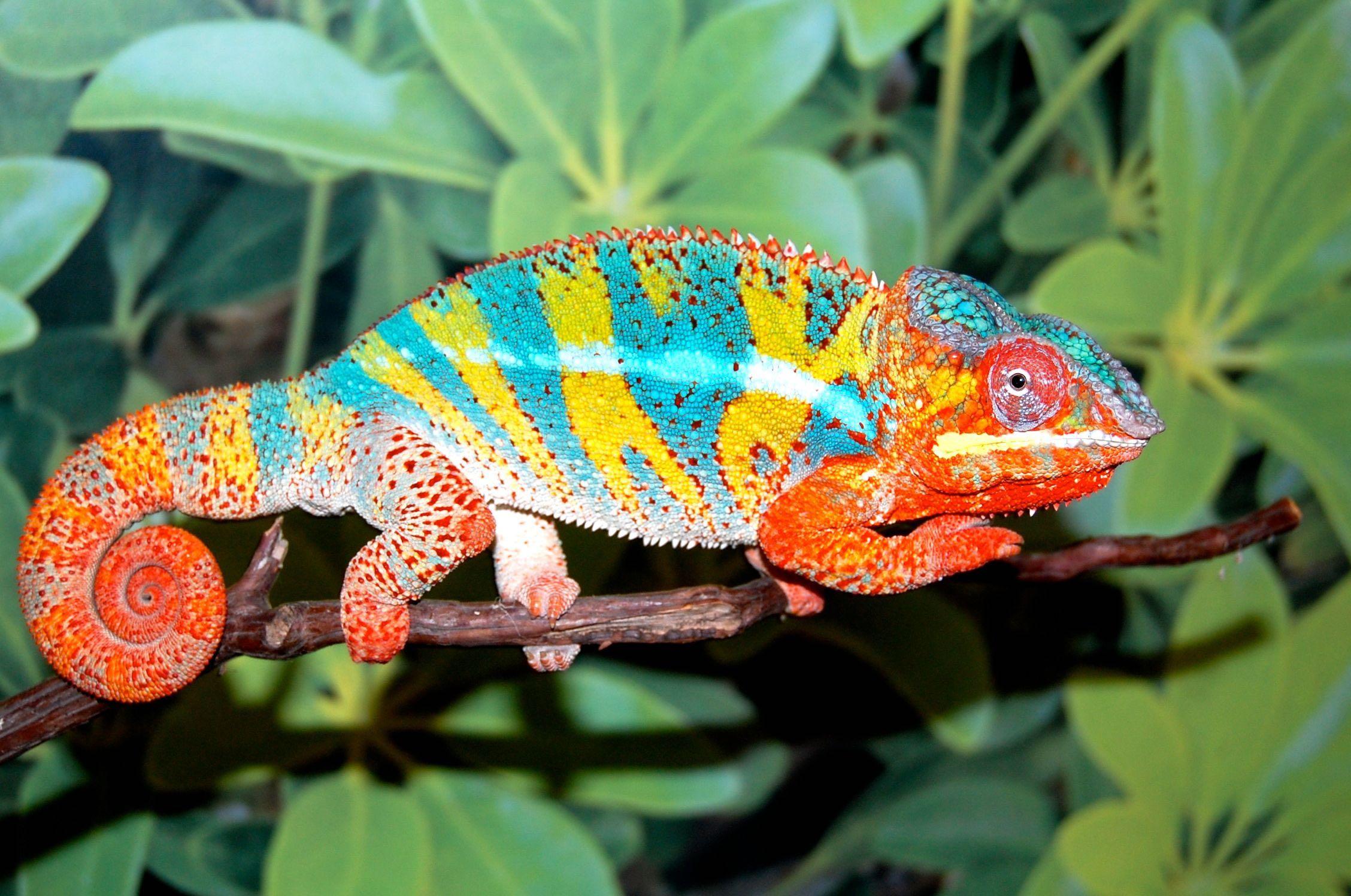 Ambilobe Panther Chameleon (Grier Bloodline) | FL Chams