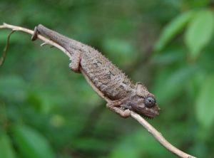 High-casqued Chameleon (Chamaeleo (Trioceros) hoehnelii)