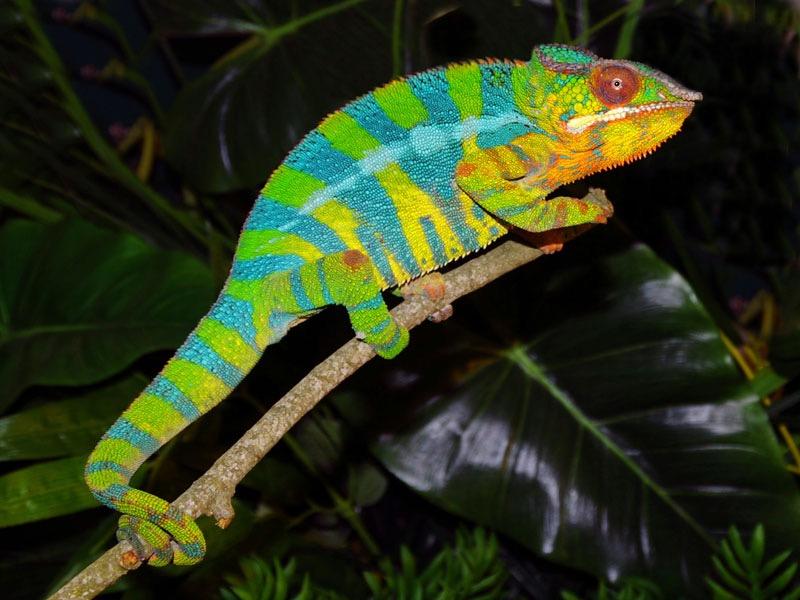 Ambilobe Panther Chameleons for Sale (Hunter Bloodline ...