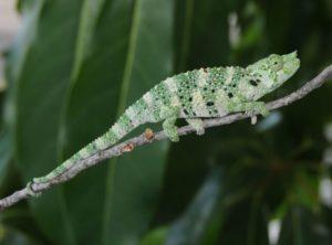 Mellers Chameleon (Chamaeleo (Trioceros) melleri)