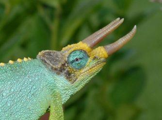 Dwarf Mt. Meru Jackson Chameleon Male for sale at FL Chams