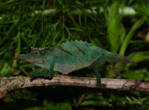 Montane Pygmy Chameleon (Rhampholeon (Rhinodigitum) acuminatus)