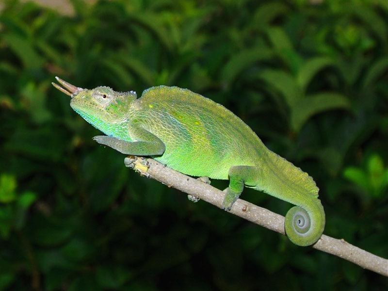 Montium-Chameleon-Male.jpg