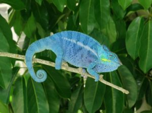 Nosy Be Panther Chameleon (Moody Bloodline)