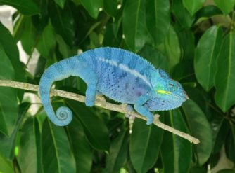 Nosy Be Panther Chameleon Moody Bloodline