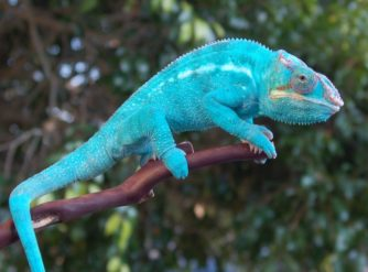 Nosy Be Panther Chameleon Patton Bloodline for sale at FL Chams