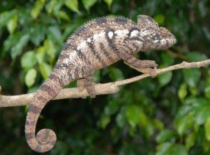 Oustalet's Chameleon Adult