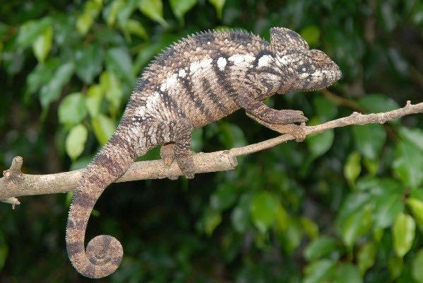 oustalet's chameleon size - Siteze