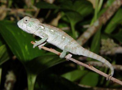 oustalets chameleon image, oustalets chameleons for sale, buy oustalets chameleon, oustalets chameleon breeder