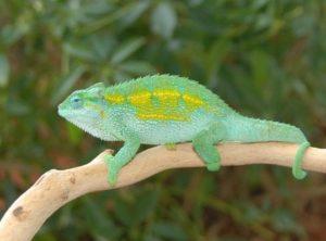 Rudis Chameleon (Chamaeleo (Trioceros) sternfeldi)