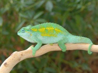 Rudis Chameleon Male