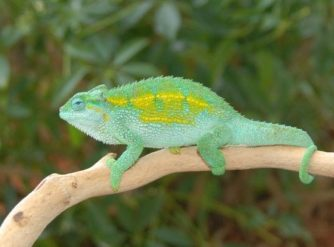 Rudis Chameleon Male For Sale